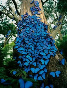 Blue Butterfly Colony