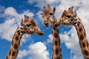giraffeconversation
